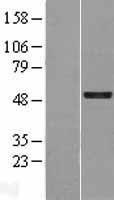 NBL1-11045 - GFI1 Lysate