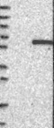 NBP1-89778 - GFRA2 / GDNFR-beta