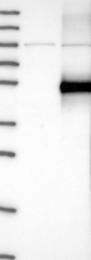 NBP1-89774 - GFRA3 / GDNFR-alpha 3