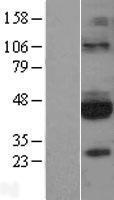NBL1-11053 - GFR alpha 3 Lysate