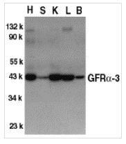NBP1-77035 - GFRA3 / GDNFR-alpha 3