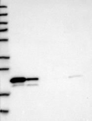 NBP1-86728 - GGCT