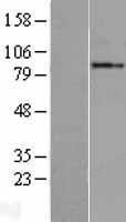 NBL1-11056 - GGCX Lysate