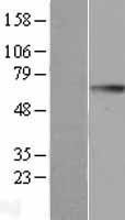 NBL1-11061 - GGT1 Lysate