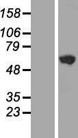 NBL1-11065 - GHDC Lysate