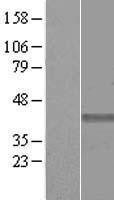 NBL1-11066 - GHITM Lysate