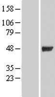 NBL1-11069 - GIF Lysate