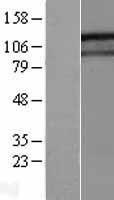 NBL1-11070 - GIGYF1 Lysate