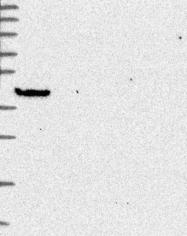 NBP1-91940 - GIMAP1 / IMAP1