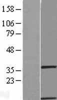 NBL1-11071 - GIMAP1 Lysate