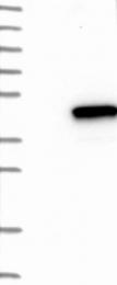 NBP1-83776 - GIMAP4 / IMAP4