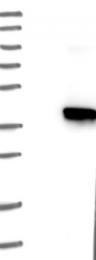 NBP1-81625 - GIMAP7