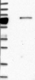 NBP1-85059 - GIMAP8