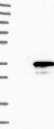NBP1-82747 - GINS4 / SLD5