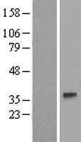 NBL1-11088 - GJA4 Lysate