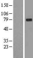 NBL1-11105 - GLB1 Lysate
