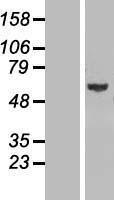NBL1-11116 - GLMN Lysate