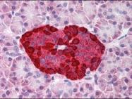 NBP1-28653 - Glucagon
