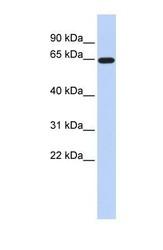 NBP1-59632 - SLC1A2 / EAAT2