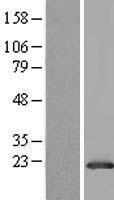 NBL1-11128 - GLTP Lysate