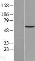 NBL1-11129 - GLTSCR2 Lysate