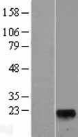 NBL1-11133 - GLYAT Lysate