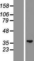NBL1-11134 - GLYATL2 Lysate