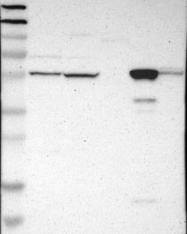 NBP1-83292 - Glycerate kinase