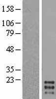 NBL1-09515 - GM-CSF Lysate