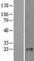 NBL1-11135 - GM2A Lysate