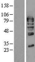 NBL1-11138 - GMEB1 Lysate