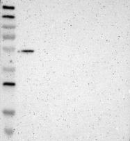 NBP1-81421 - GMEB2
