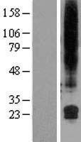 NBL1-11142 - GML Lysate
