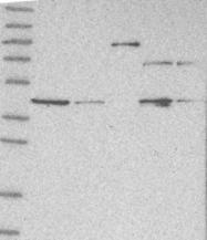 NBP1-85904 - GMPPA