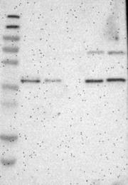 NBP1-81366 - GMPPB