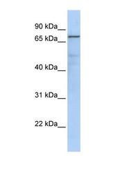 NBP1-52972 - GMP synthetase / GMPS