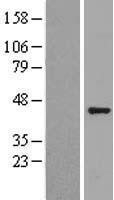 NBL1-11159 - GNAQ Lysate