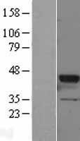 NBL1-11162 - GNAT2 Lysate