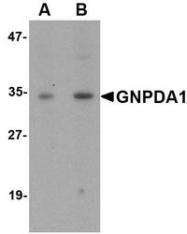 NBP1-76994 - GNPDA1
