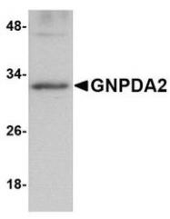NBP1-76997 - GNPDA2