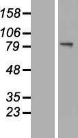 NBL1-11193 - GNS Lysate