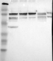 NBP1-83352 - GOLGA5