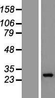 NBL1-11204 - GOSR1 Lysate