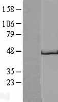 NBL1-11210 - GP2 Lysate