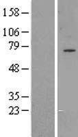 NBL1-11213 - GPAA1 Lysate