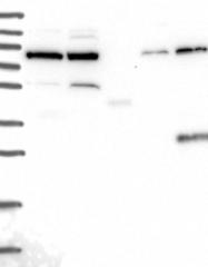 NBP1-91958 - GPATCH1
