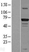 NBL1-11215 - GPATCH3 Lysate