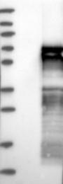 NBP1-80733 - Vasculin-like protein 1