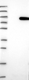 NBP1-81836 - GPCPD1 / GDE5