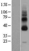 NBL1-11245 - GPCR GPR119 Lysate